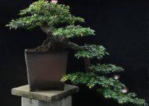 Guía para el cuidado del árbol de los bonsáis en polvo (Calliandra schultzei)