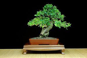 Guía de cuidado del árbol de bonsái Pyracantha (Pyracantha Coccinea)
