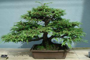 Guía de cuidado del árbol de bonsái de secoya (Metasequoia glyptostrobides)