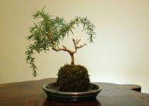 Guía de cuidado del árbol de bonsái de romero (Rosemarinus Oficinus)