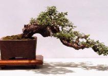 Los 10 árboles de bonsái más bonitos