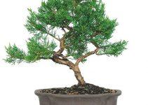 Los mejores árboles de bonsái de hoja perenne para exteriores