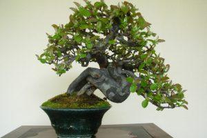Árboles Bonsái Shohin | Jardinero de árboles Bonsái