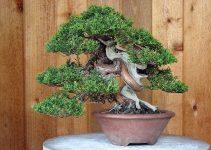 Guía de suelos para el cultivo de bonsáis de enebro