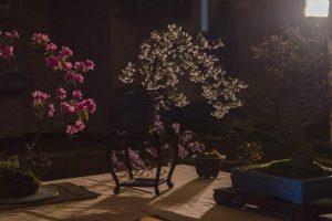 Los 10 mejores árboles de bonsái del mundo que quieres conocer