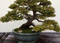 Cómo cultivar árboles de bonsái entrenados