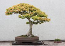 Guía de cuidado del árbol bonsái de arce Trident (Acer buergerianum)