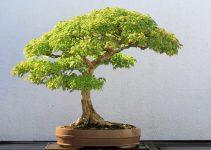 Los mejores árboles de bonsái de hoja caduca para exteriores