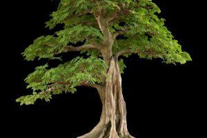 Árboles Bonsái Tropicales | Jardinero de árboles Bonsái