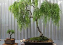 Guía de cuidado del árbol de bonsái del sauce llorón (Salix repens)