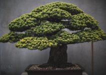 ¿De dónde son los árboles de bonsái?