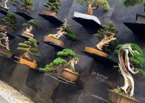 ¿Por qué los árboles de bonsái son tan caros?