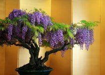 Guía de cuidado del árbol de Wisteria Bonsái (Wisteria sp.)