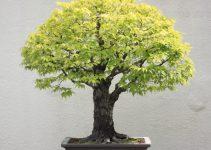 Guía para el cuidado del árbol de bonsái del olmo japonés (Zelkova serrata)